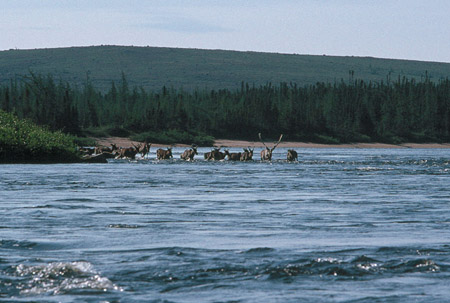 Caribou crossing Mushuau-shipu. Innu would spear the animals as they were crossing the river (photo Troy M. Gipps)